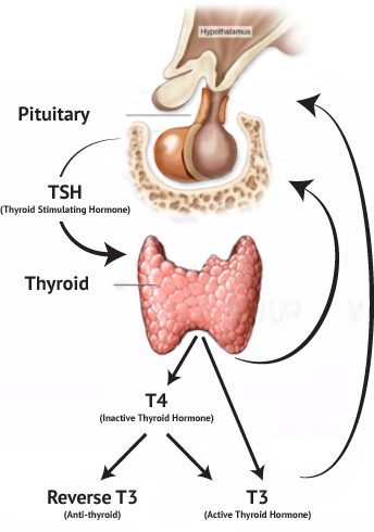 thyroid-location-anatomy-physiology-tsh